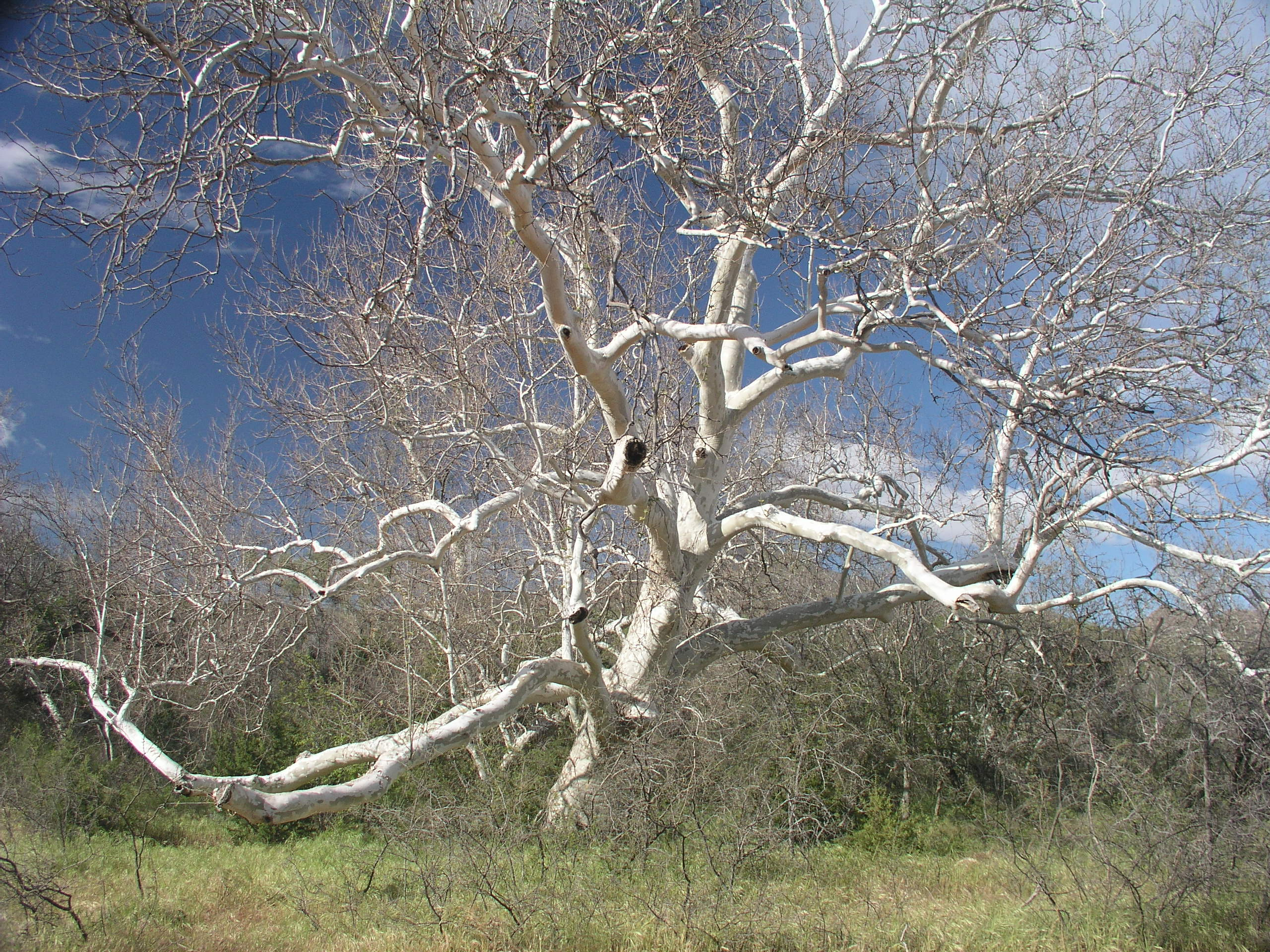 The Crazy Sycamore Tree off the Arizona Trail - Cynthia Sidrane