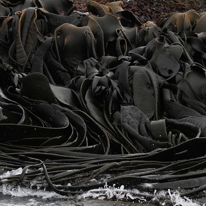 Cooper Bay kelp