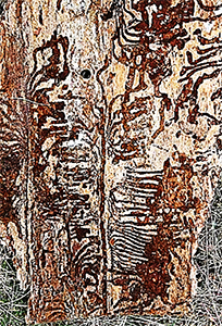 Beetle gallery in Douglas-fir bark