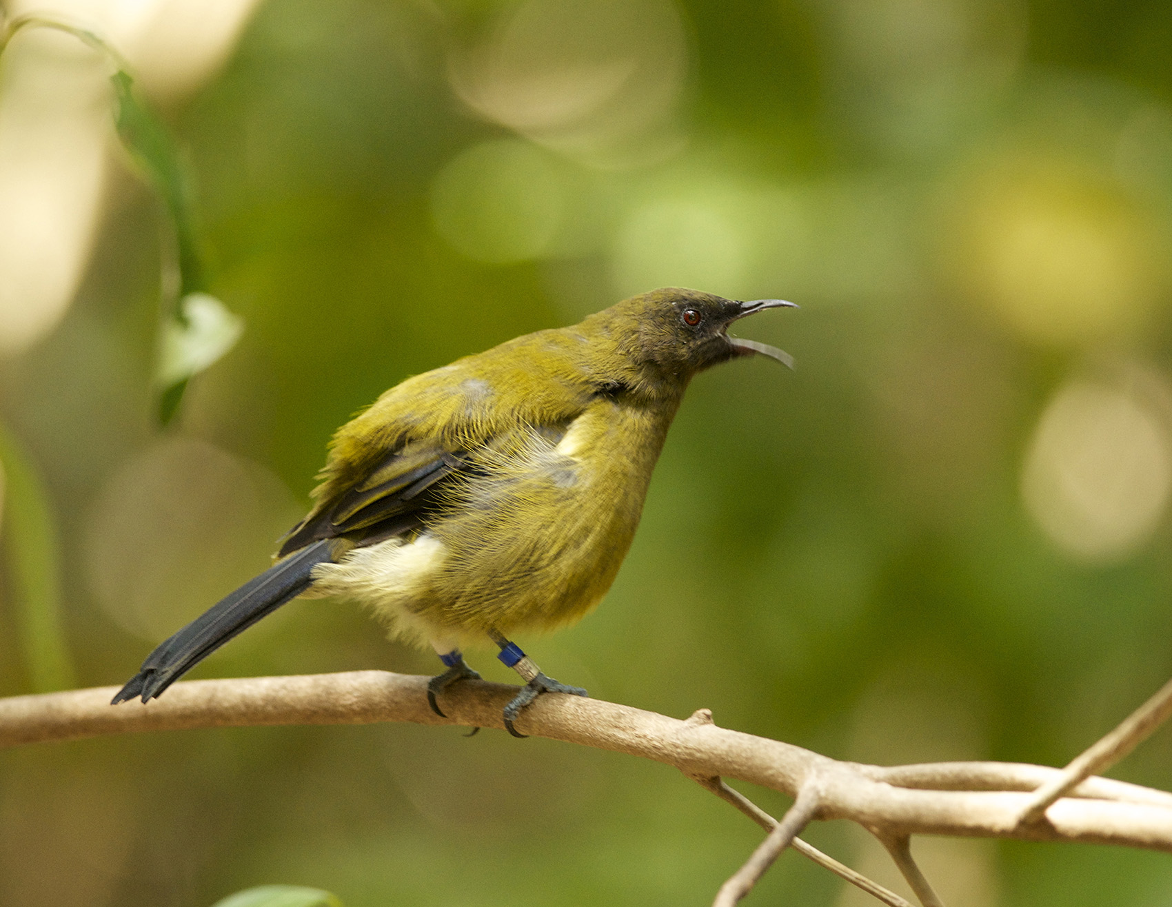 Bellbird calling photo