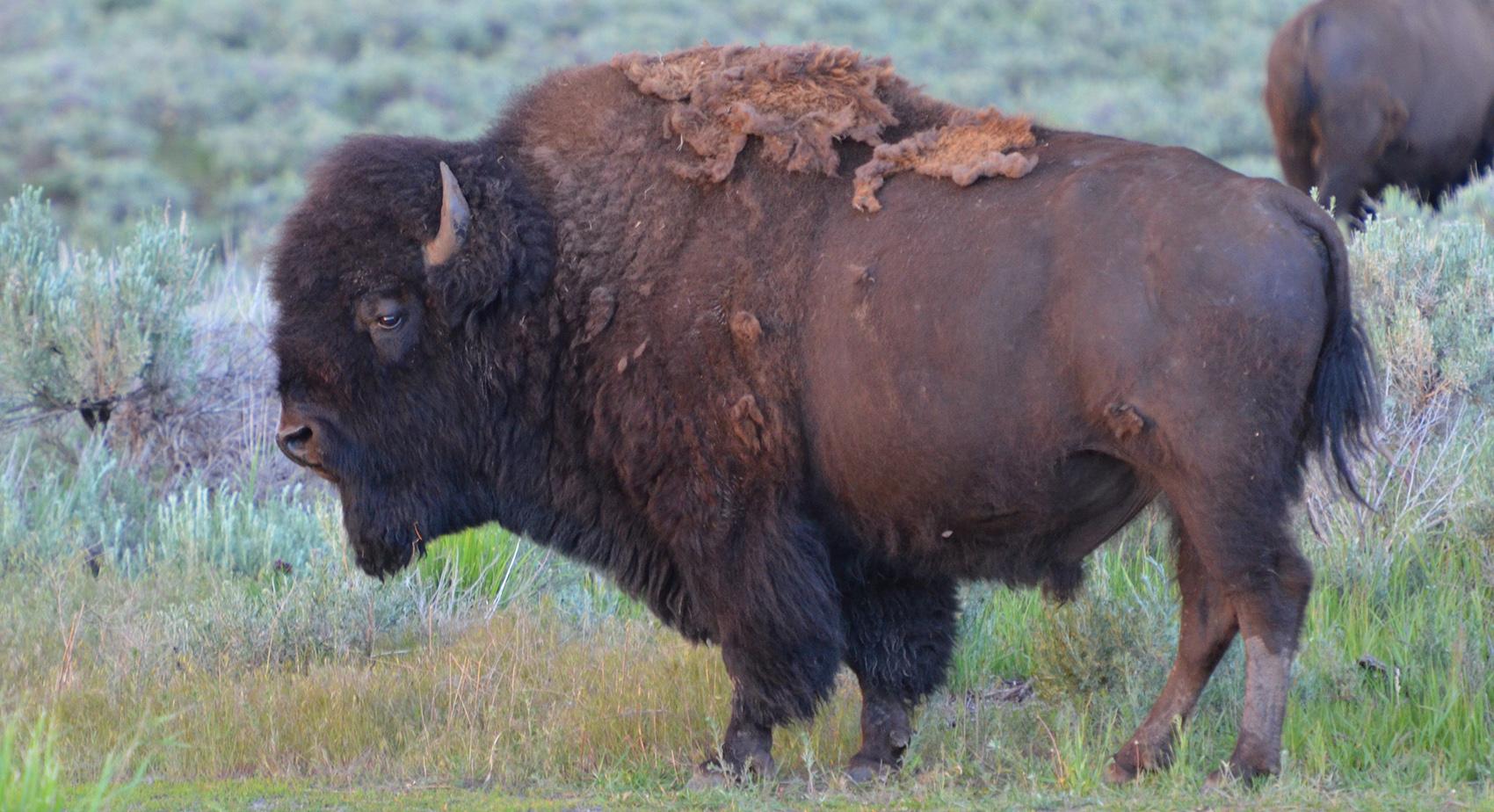 male bull buffalo