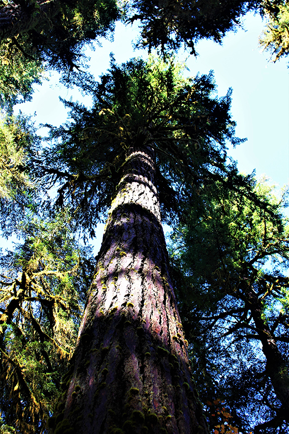 photo of Old Growth Douglas-Fir in Andrews Forest