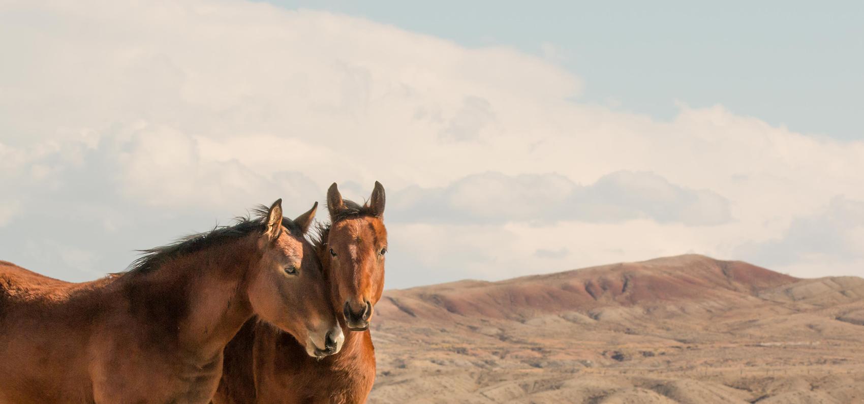 two wild horses nuzzle