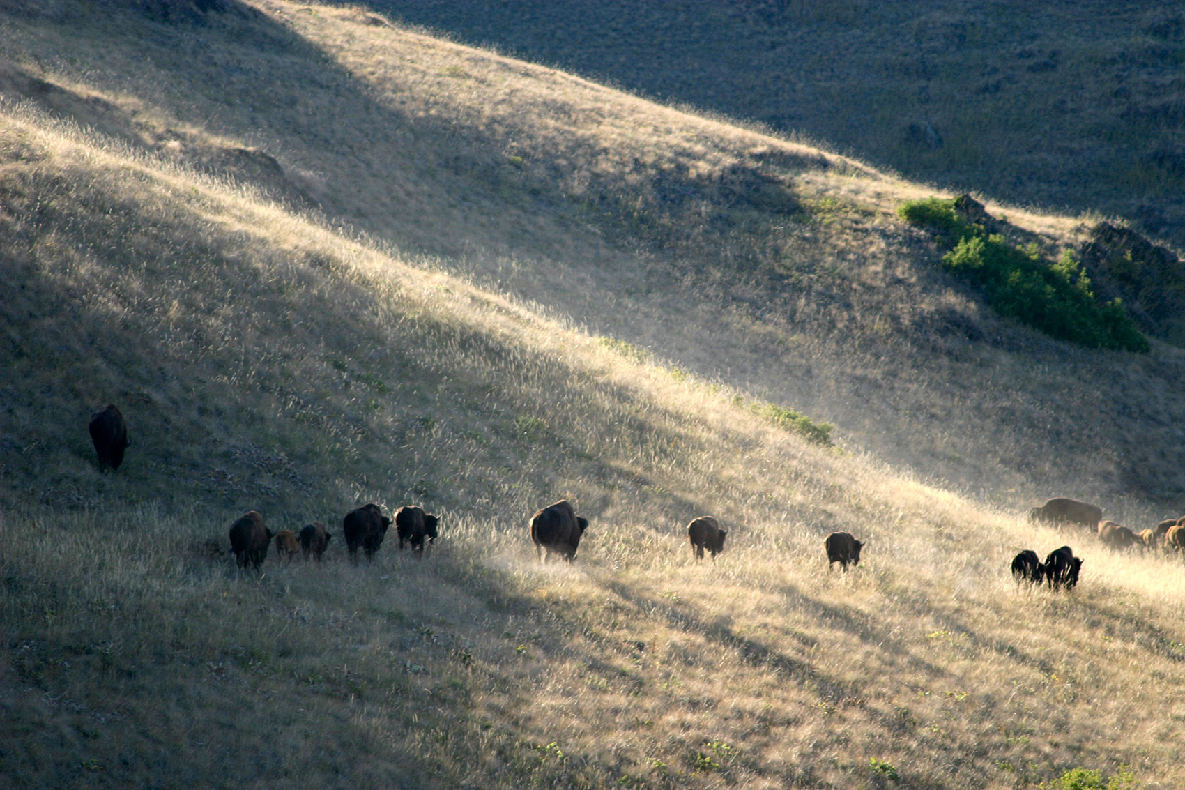 photo of buffalo on a prairie at dusk