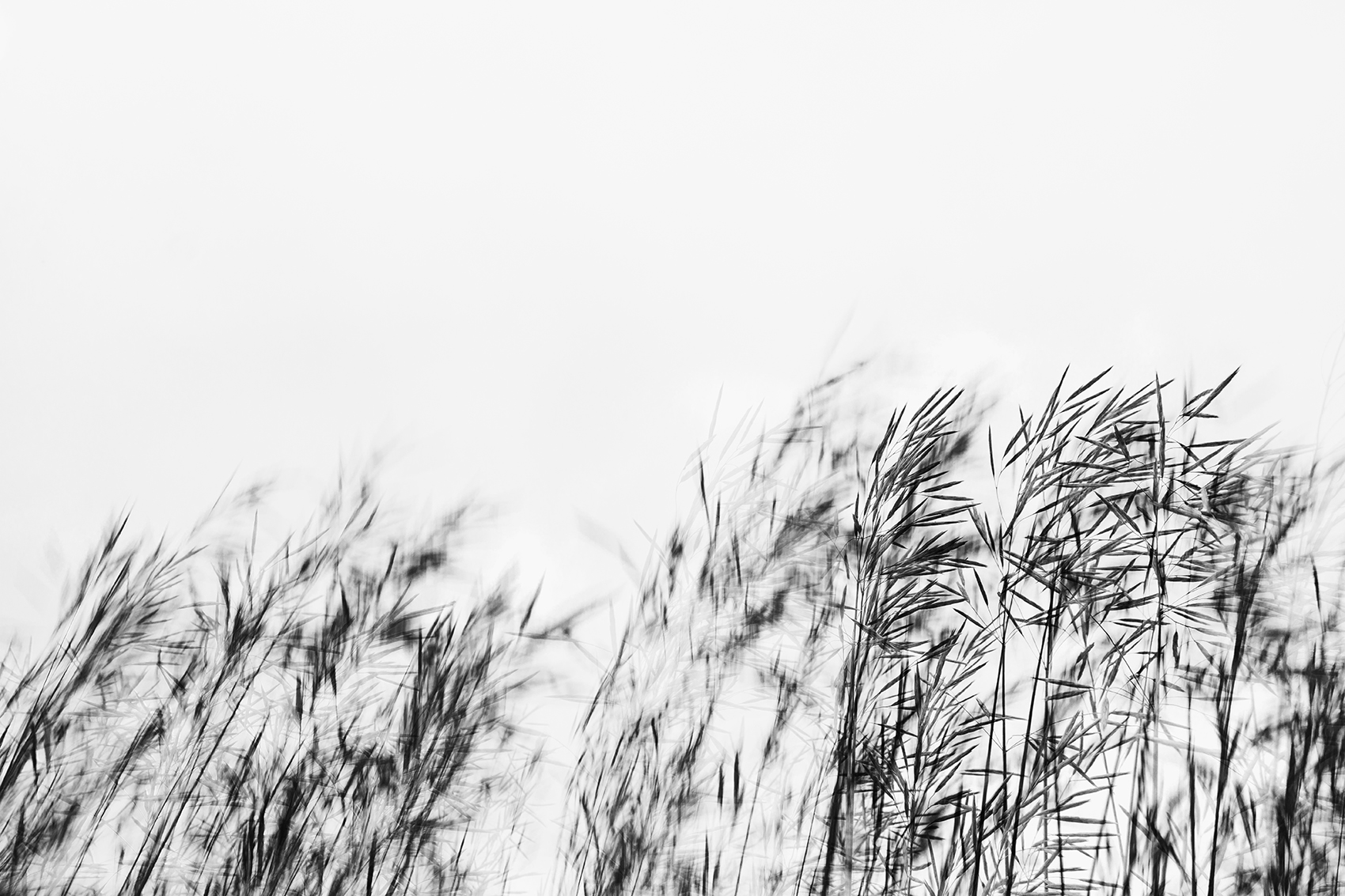 black and white photo of wheat blowing in wind