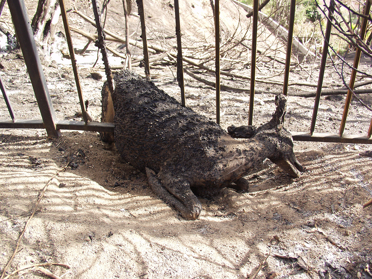 photo of a burned deer trapped in a fence after a wildfire