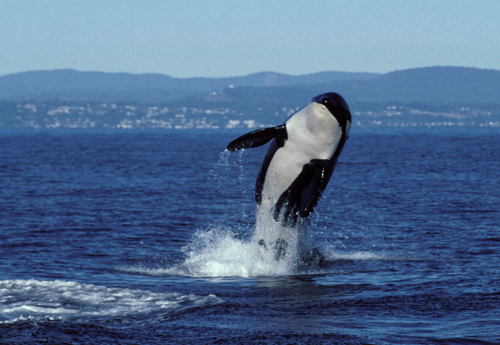 killer whale breaches the surface