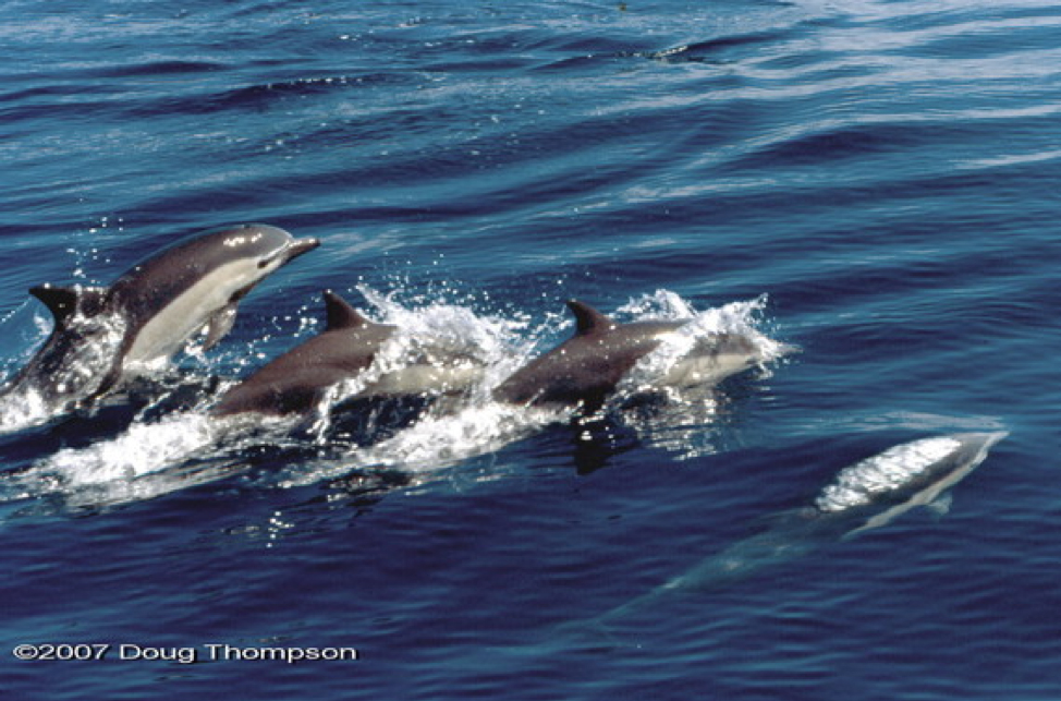 pod of spinner dolphins