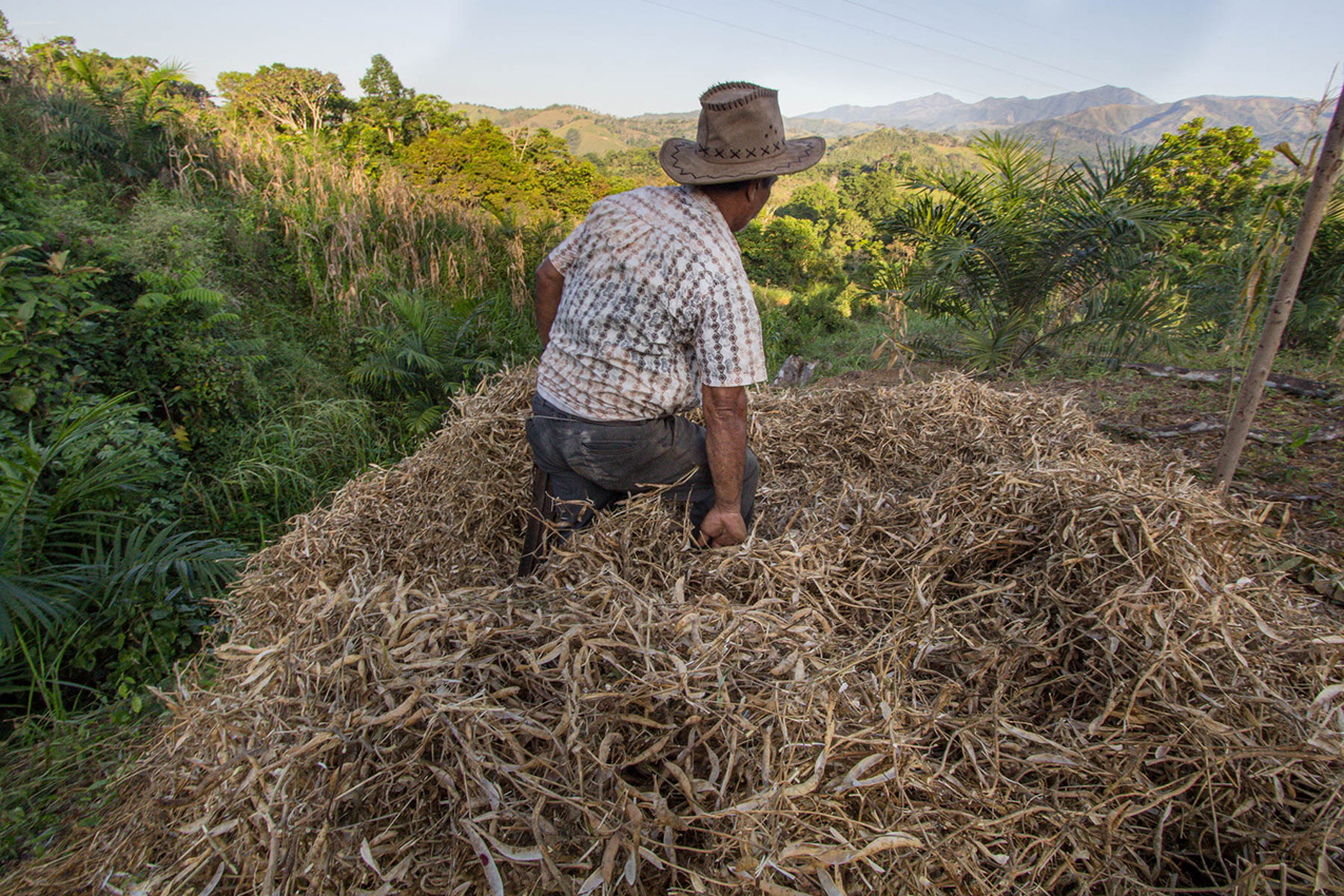 A man in Costa Rica wades through a pile of harvested beans