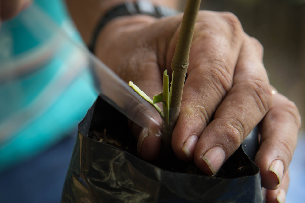 Closeup of hands grafting varietal buds onto strong rootstock for chocolate production