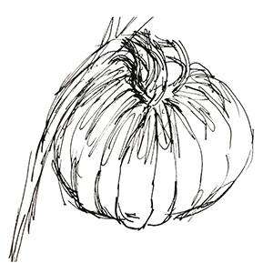 small black and white sketch of garlic bulb