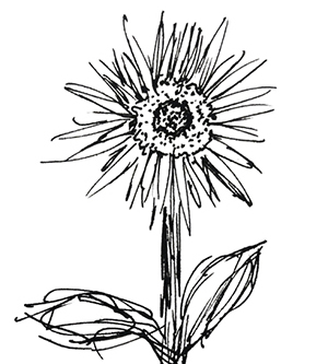 small black and white sketch of a sunflower