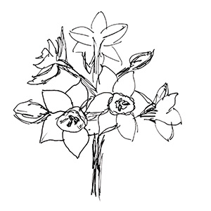 small black and white sketch of narcissus flowers