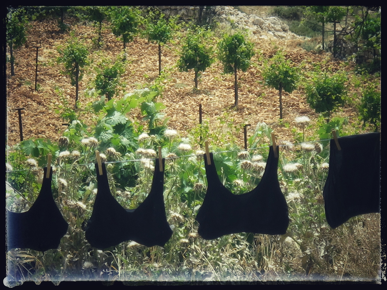 black bras hanging on a clothes line with an orchard in the background