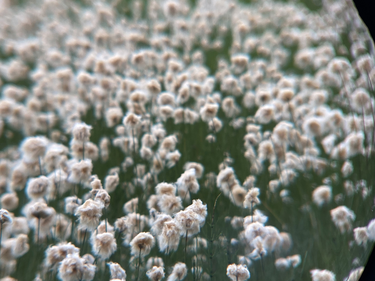 Photo filled with cottongrass blossoms, shallow depth of field