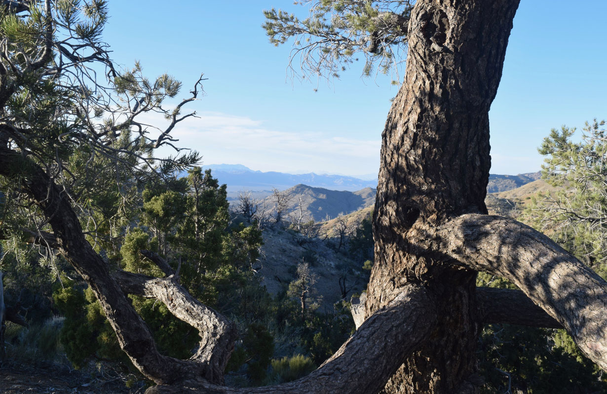 juniper and piñon pines frame a view in the Mojave Desert region