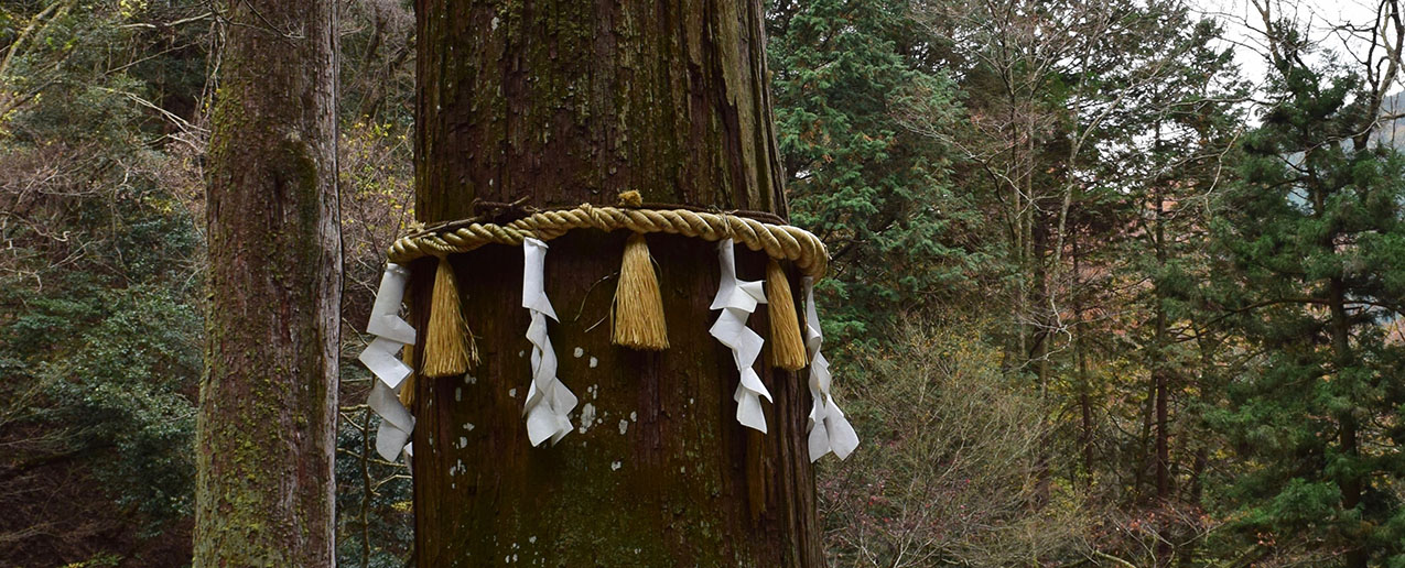 a Japanese cedar tree encircled by a shimenawa of hemp rope decorated with tassels and white paper streamers folded to look like lightning